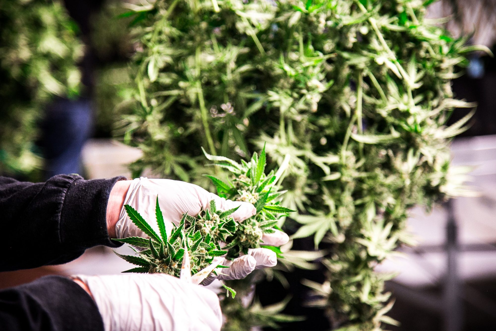 Cannabis Master Grower Practices in Canada