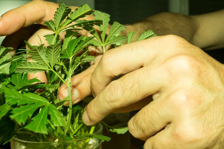 Cannabis Master Grower practices
